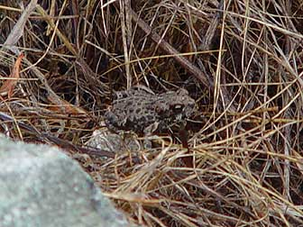 Western toad baby picture