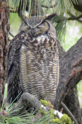 Picture of great horned owl in