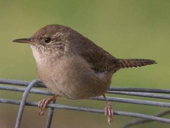 Picture Of A House Wren Perched On A Wire
