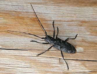 Asian Longhorned Beetle - mdastatemnus
