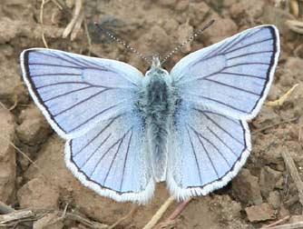 blue-copper-butterfly2.jpg