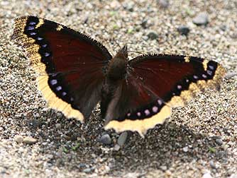 Morning cloak (sic) butterfly picture