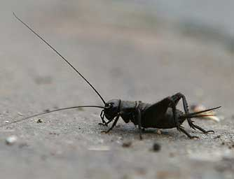 black-field-cricket.jpg