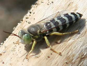 Pictures Of Bembix Sand Wasps
