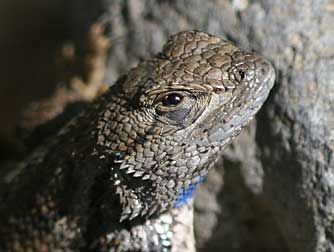 Pictures of Western fence lizard or Sceloporus occidentalis