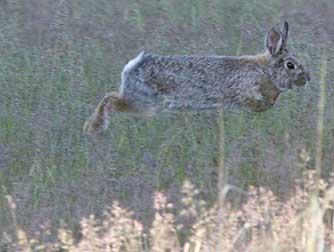 Hopping Nuttall's cottontail rabbit or Sylvilagus nuttallii