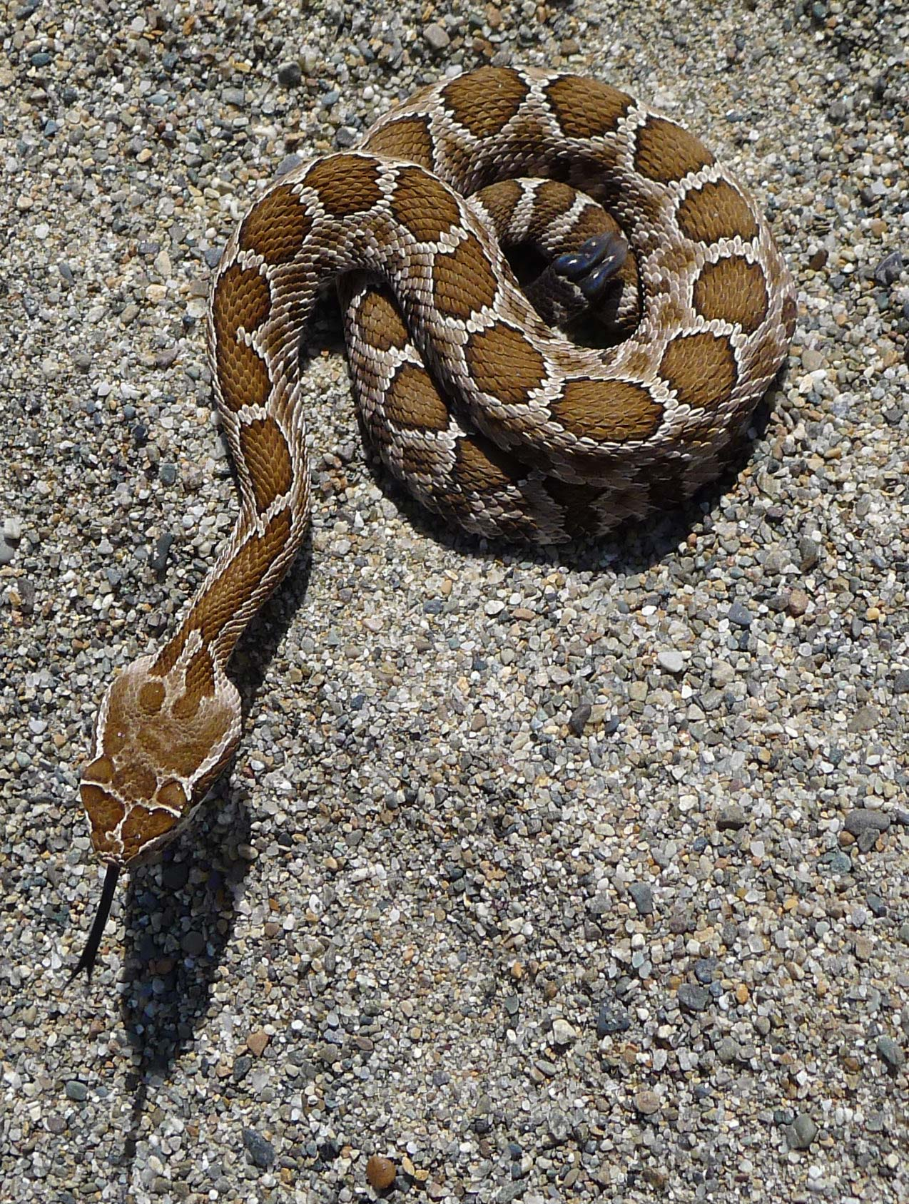 Looks like a rattlesnake without rattle