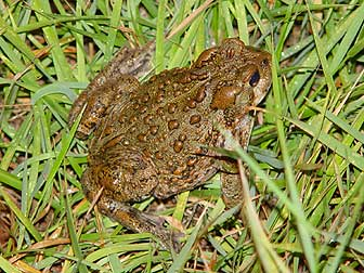 Western toad picture