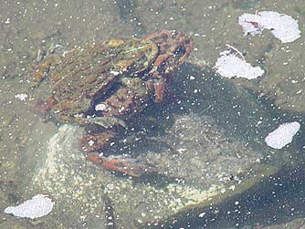 Picture of western toads mating