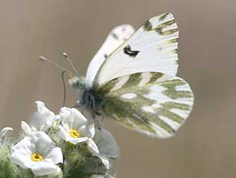 beckers white butterfly5