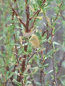 Closeup picture of antelope bitterbrush with a ringlet butterfly