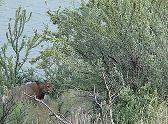Deer browsing the bitter brush or Purshia tridentata