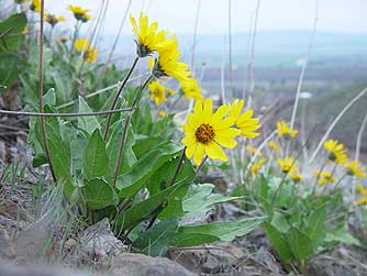 Yellow arrowleaf balsamroot wildflower pictures - Balsamorhiza sagittata