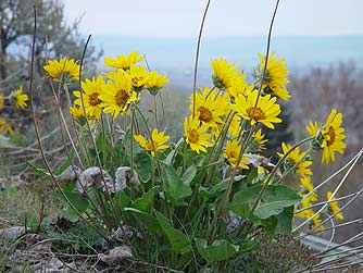 Picture of yellow arrowleaf balsamroot