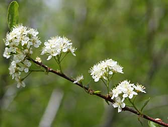 Picture of bitter cherry flowers