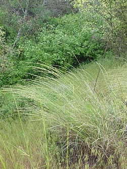 Picture of bluebunch wheatgrass - Pseudoroegneria spicata or Agropyron spicatum