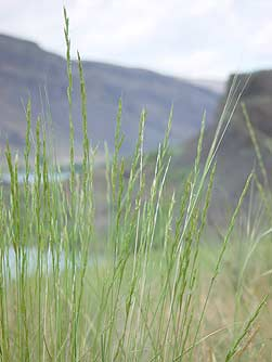 Picture of bluebunch wheatgrass in the Sun Lakes area above Alkali Lake