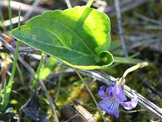 Pictures of northern bog violet or Viola nephrophylla