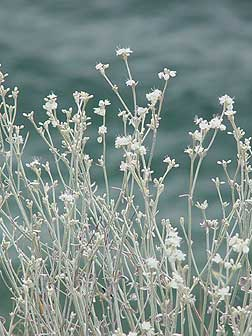 Snow buckwheat picture in bloom - August