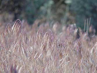 Cheatgrass pictures and information