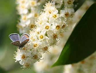 Blooming chokecherry providing nectar for butterfly