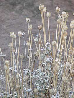 Picture of dry flower stems of cushion buckwheat in January