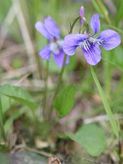 Picture of early blue violet or Viola adunca