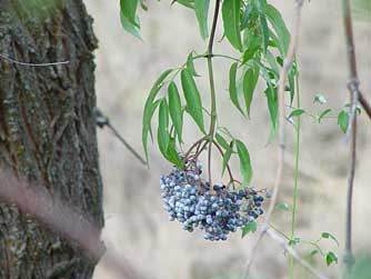 Picture of elderberry bark and blue elderberries