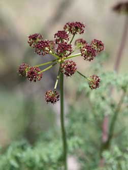 Picture of fern-leaved desert parsley with purple flowers