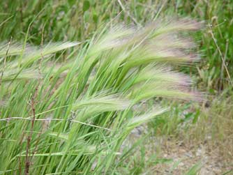 Pictures of foxtail barley