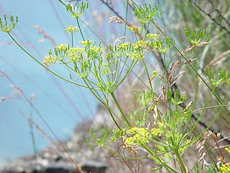 Great Basin Desert Parsley flower picture