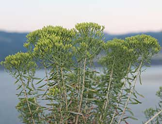 Green rabbitbrush pictures