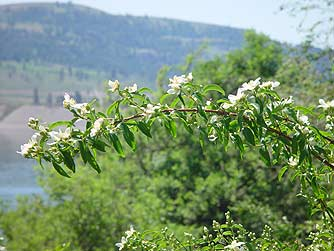 Picture of a branch of wild mock orange flowers or Philadelphus lewisii