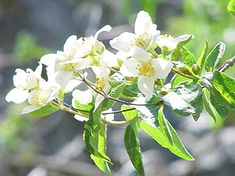 Picture of mock orange flowers