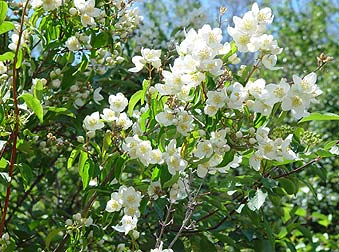 Mock orange picture