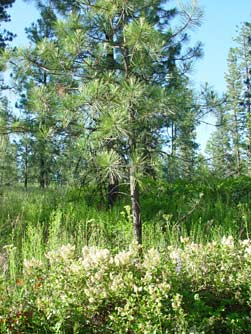 Picture of mountain balm and ponderosa pine tree