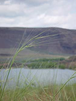 Pictures of needle and thread grass