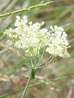 Parsnip-flowered buckwheat closeup picture