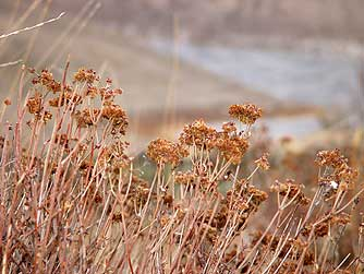 Parsnip flowered buckwheat above Ancient Lakes