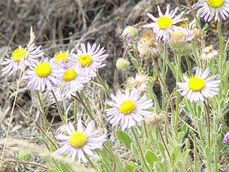 Purple cushion fleabane flowers near Umtanum Road