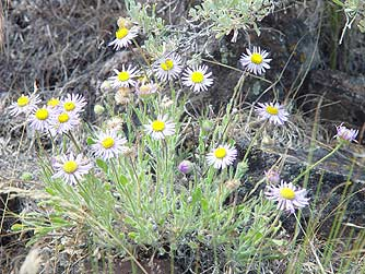 Picture of purple cushion fleabane - Erigeron poliospermus in April, in the Quilomene