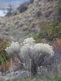 Picture of gray rabbitbrush in November