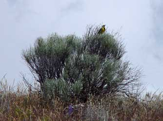Gray rabbitbrush bush with a singing meadowlark