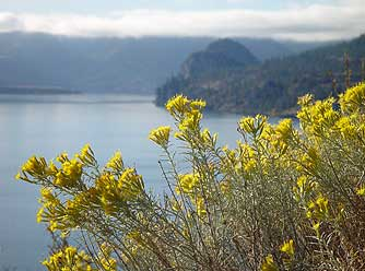 Gray rabbitbrush pictures and information