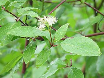 Picture of red osier dogwood