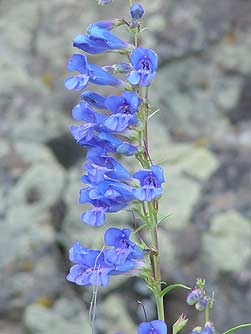 Pictures of royal penstemon wildflower