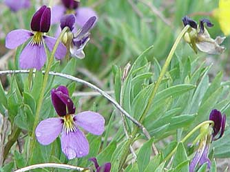 Pictures of lavender sagebrush violet, Rainier violet or Viola trinervata