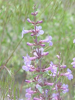 Picture of sand penstemon wildflower
