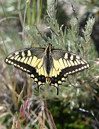Oregon swallowtail butterfly basking on scabland sagebrush