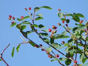 Picture of serviceberries or saskatoons